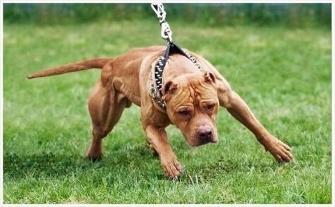 pit bull - home owner's insurance